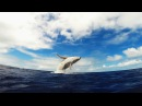 GoPro Humpback Whale Breach Mother Calf
