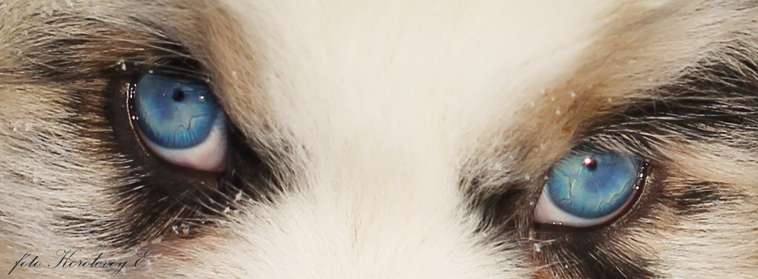 Австралийские овчарки п-ка ИЗ ДОМА КОРОЛЁВОЙ - Страница 2 PqU45mAiOEU
