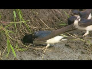 BBC Тайная жизнь птиц 02 Создание гнезда
