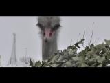 Парижский страус