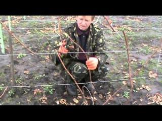 Обрезка винограда 2-й год выращивания. Запоминаем и применяем на практике!