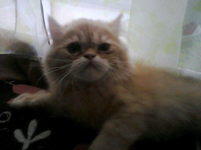 Внимание розыск! Пропал персидский кот «Сэмиэль»