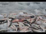 20 кг улов! Вот это рыбалка! Зимняя рыбалка 2016. Калининград. Куршский залив. Ловля плотвы, лещ.