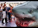 Worlds Biggest Shark EVER! Megalodon