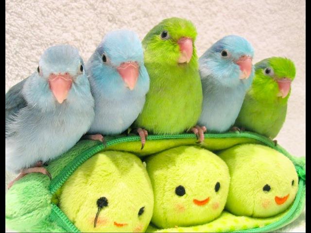 5 peas in a pod - Parrotlets 5 weeks old » Freewka.com - Смотреть онлайн в хорощем качестве