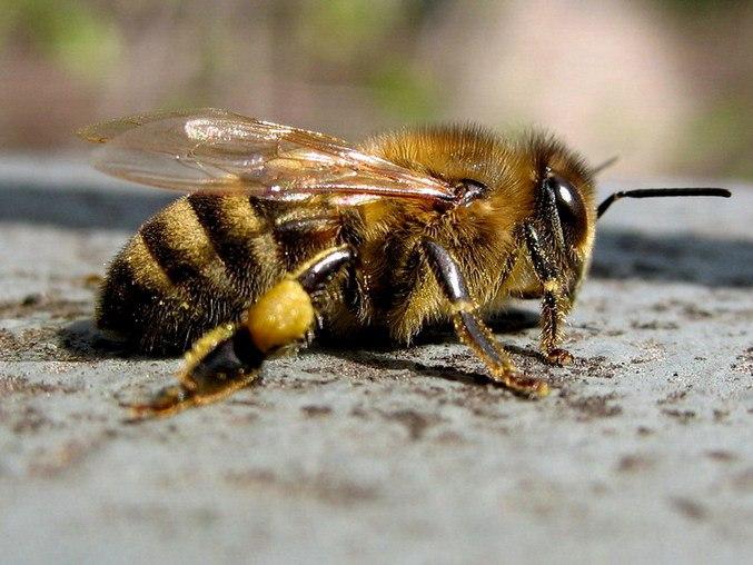 Ветеринарные врачи разработали памятку для пчеловодов о действиях при отравлении пчел
