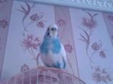 мой говорящий  попугайчик=))))волнистый попугай