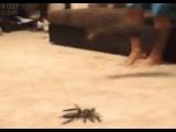 Cat Scared by Giant Spider - gato assustado por aranha