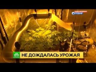 На севере Петербурга наркополицейские «собрали» домашний урожай конопли 9