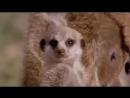 Ржачные приколы Сурикаты — маленькие сторожа пустыни Различные короткие видео ролики, приколы и др @ (1)