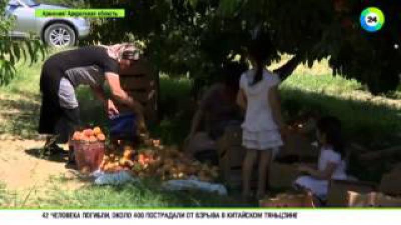 В Армении собрали небывалый урожай персиков