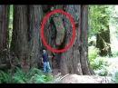 Задокументировано №125 - Дерево убивающее людей