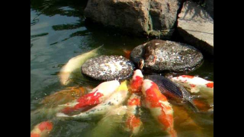 Baby duck feed the carp Nishiki Goi 鯉に餌を与えるカルガモちゃん 有爱的小鸭子