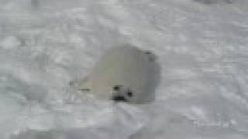 The noisy Harp seal pup