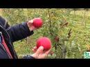 Зимние сорта яблонь краткое описание плодоношение в питомнике растений Сад