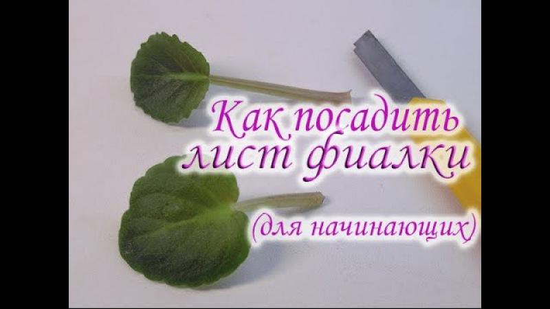 Как посадить лист фиалки. Как вырастить фиалку из листа. Укоренение листового черенка фиалки.