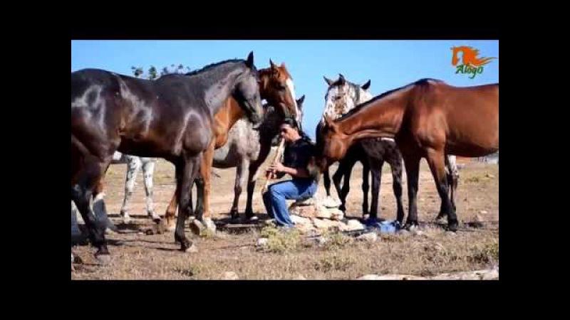 Игра на флейте ритм мелодия очень заинтересовали лошадей