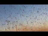 В России – нашествие саранчи авиация не справляется, в трех регионах объявлено ЧП