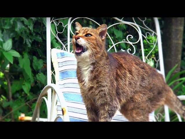 Why Do Cats Miaow - Cats Uncovered - BBC