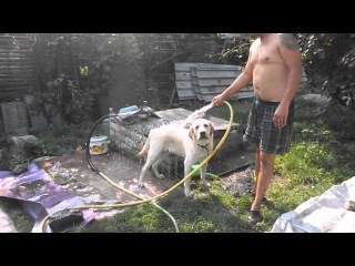 Наш гость Лабрадор принимает душ. Funny Labrador takes a shower.