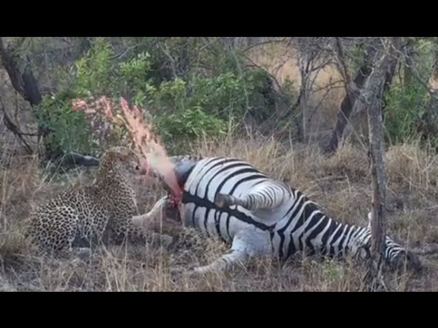 ▶ Leopard Detonates Zebra Carcass in Kruger National Park