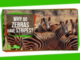 Why Do Zebras Have Stripes