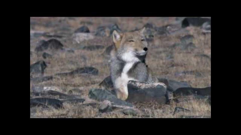 Тибетская лисица Vulpes ferrilata