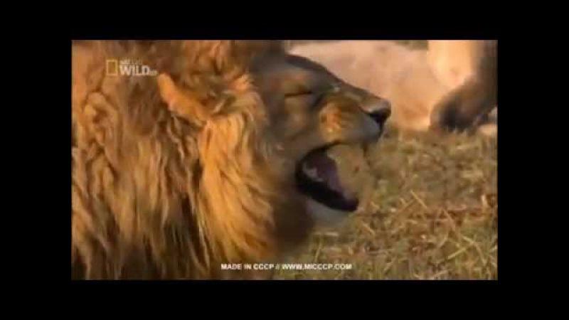 Leão sorrindo, rindo rindo kkkkkk