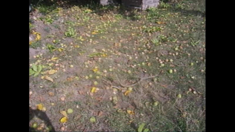 Мегаврожай горіхів.
