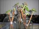 Зимнее размножение смородины черенками