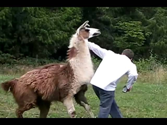 White Nigga Attacks Henry The Llama
