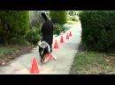 Самый умный пёс в мире  ИНТЕРЕСНЫЕ ВИДЕО ПРО ЖИВОТНЫХ!!!