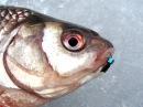 Уловистые безмотылки 2015 Крупная рыба