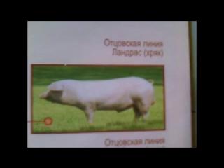 Как заработать на свинье Белая крупная+Ландрас+Дюрок