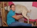 Дойка коз процеживание молока Хозяйство Марины Каманиной