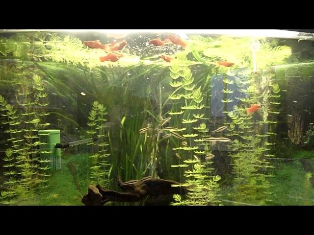 Меченосцы и водрослееды в салоне аквариумов AquaHouses
