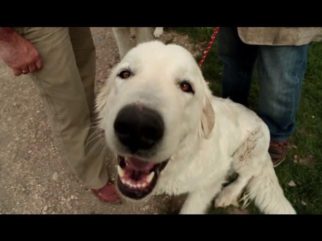 Мареммо-абруццкая овчарка. Планета собак 🌏 Моя Планета