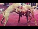 Собачий бой СИМБА VS ЛОРД  просто жрут друг друга