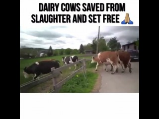 """Christy Lee on Instagram: """"Love this.♡ from @gmo_gus - Cows spend most of their lives bearing calves and giving milk. When their milk capacity ceases, the cows are…"""""""