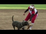Dog steals softball gloves during game