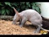Baby Aardvark and Mom at Brookfield Zoo
