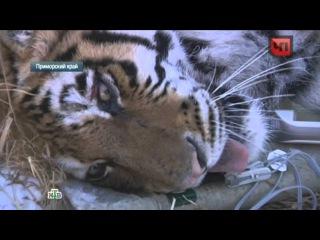 В Приморье тигров Тихона и Устина учат охотиться и жить в дикой природе
