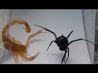 Смертельный бой - Скорпион или паук кто победит ?