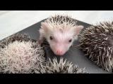 Hedgehog Muffins