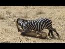 Львица атакует зебру
