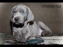 Веймаранер Weimaraner Веймерская легавая Породы собак