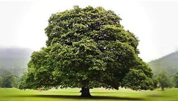 дерево дуб для изготовления окон