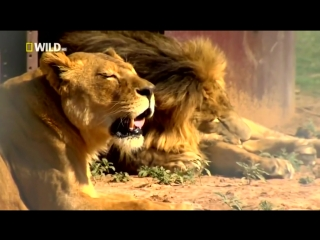 Доисторические хищники  Саблезубый Тигр (динозавры 2016 HD) Документальные фильмы 2016 онлайн