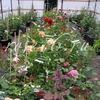 Ярославский Розарий Цветущие саженцы роз