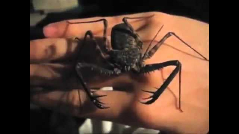 Жгутоногий паук